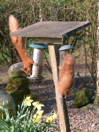 Two red squirrels upside down on a bird feeder