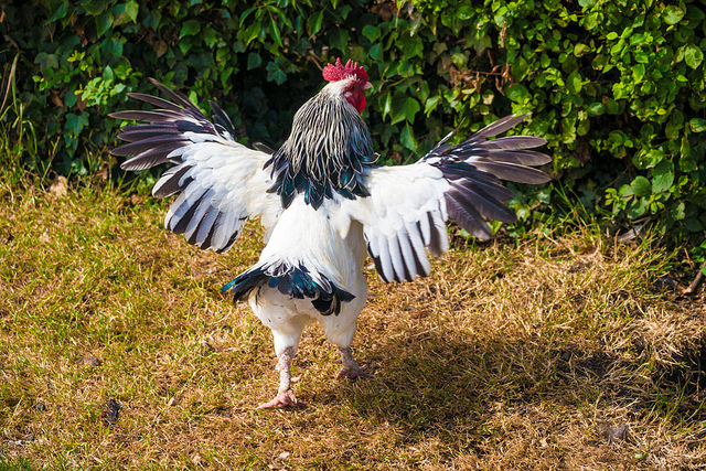Chicken strutting with outstretched wings