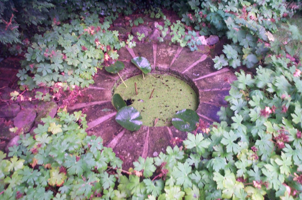 a beautiful small circular pool covered in duckweed and surrounded by geranium leaves