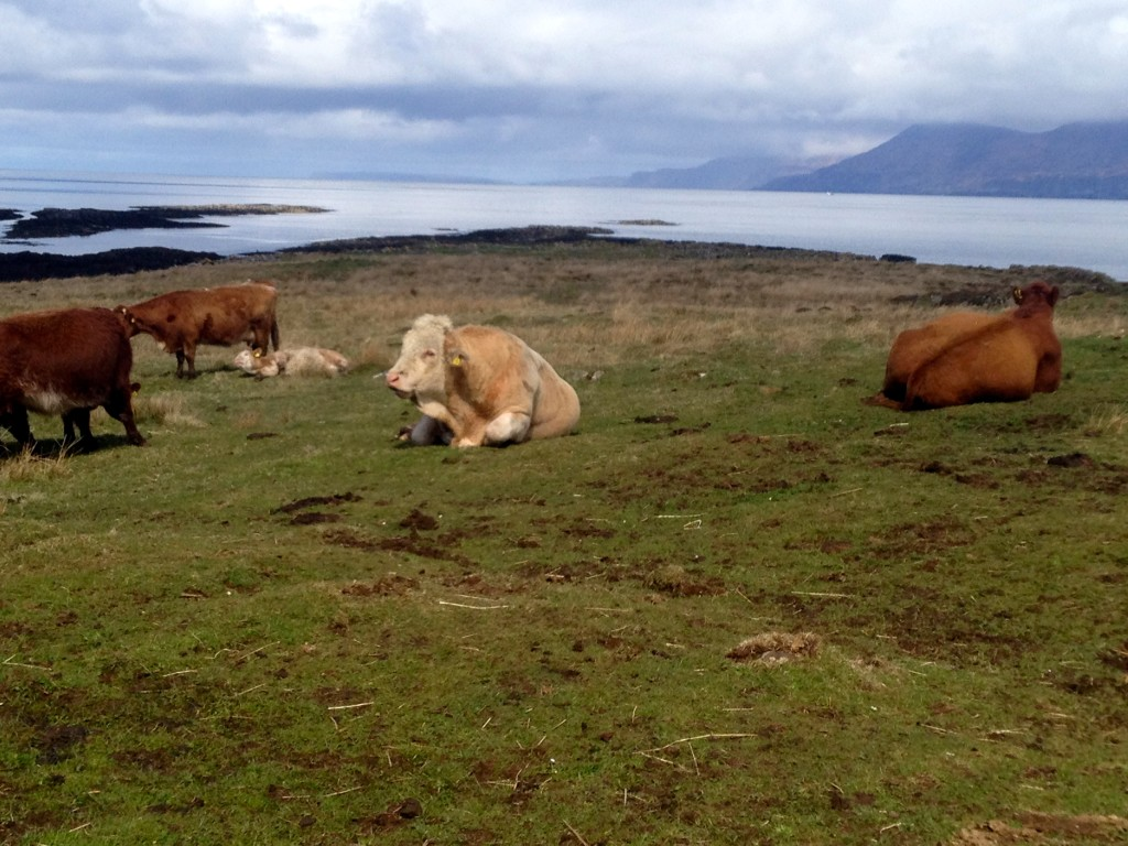 Highland bull and cows contemplating the scenery