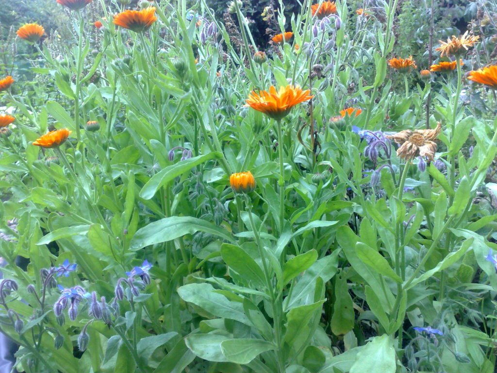 Close up of marigolds, borage and love in a mist