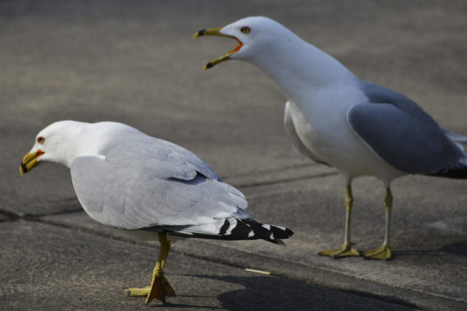 Two seagulls, male and female? Image by Justin Phillips CC BY 2.0